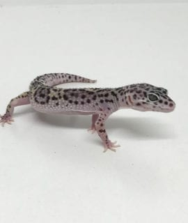 Mack Snow Leopard Gecko CB19