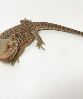 Male Classic (Red) Bearded Dragon CB17