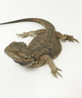Male Classic Bearded Dragon CB16