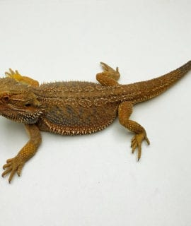 Male Classic Bearded Dragon Breeder CB