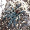 Pinktoe Tarantula 5cm