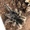 Curly Hair Tarantula 7cm