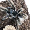 Curly Hair Tarantula 10cm
