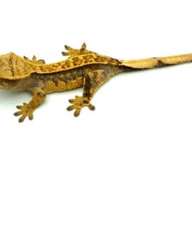 Pinstripe Flame Crested Gecko CB20