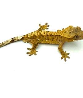 Creamsicle Dalmatian Crested Gecko CB20