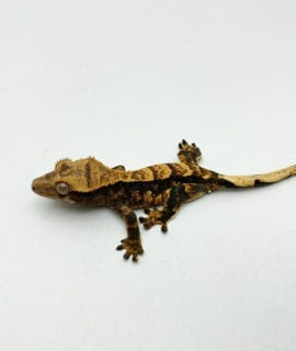 Extreme Harlequin Crested Gecko CB20