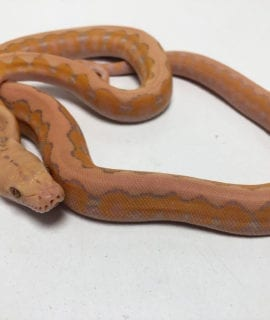 Female Coral Platinum Super Dwarf Reticulated Python CB20