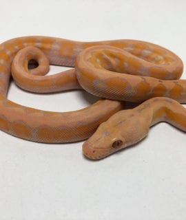 Male Coral Platinum Super Dwarf Reticulated Python CB20
