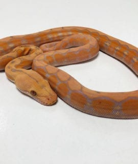 Male Coral Super Dwarf Reticulated Python CB20