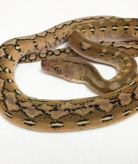 Female Platinum het Foulsham Caramel Super Dwarf Reticulated Python CB20