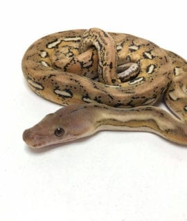 Male Platinum Tiger het Anthrax Dwarf Reticulated Python CB20