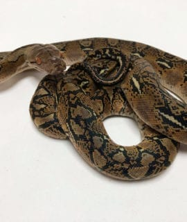 Female Classic het Anthrax Dwarf Reticulated Python CB20
