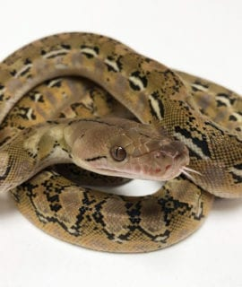 Female Platinum het Anthrax Dwarf Reticulated Python CB20