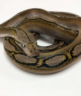 Female Motley Sunfire Mainland Reticulated Python CB19