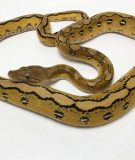 Female Platinum Sunfire Mainland Reticulated Python CB19
