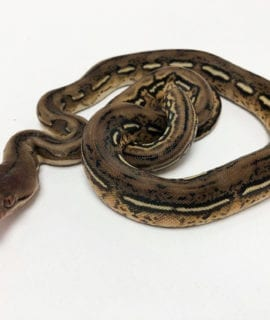 Female Tiger het Anthrax Dwarf Reticulated Python CB20