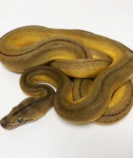 Male Goldenchild Platinum Suntiger Mainland Reticulated Python CB19