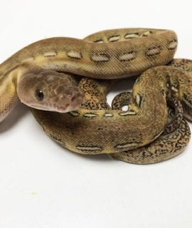 Female Marble Platinum Tiger het Anthrax Dwarf Reticulated Python CB20