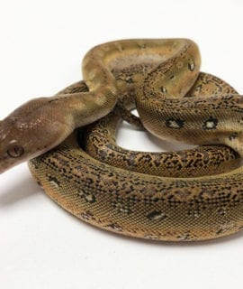 Female Marble Platinum het Anthrax Dwarf Reticulated Python CB20
