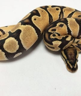 Male Orange Dream Fire Royal Python CB19