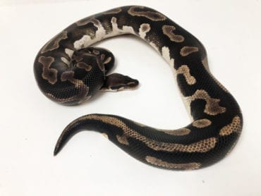 Male Leopard Phantom het Pied Royal Python Breeder CB