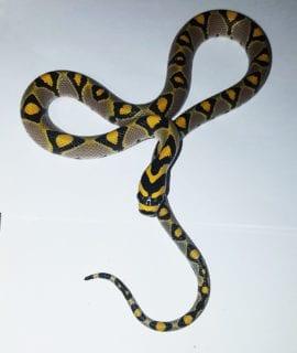Mandarin Rat Snake CB20