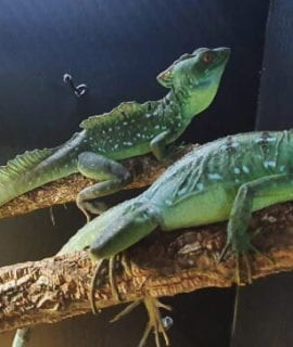 Plumed Basilisk Proven Breeding Trio LTC