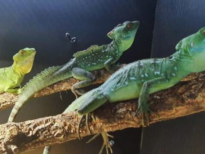 Breeding Projects – Green Basilisk