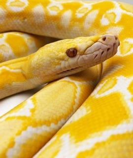Female White Sunfire het Genetic Stripe Dwarf Reticulated Python CB18