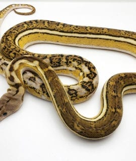 Female Anthrax Platinum Tiger Mainland Reticulated Python CB18
