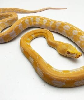Male White Albino Tiger Mainland Reticulated Python CB19