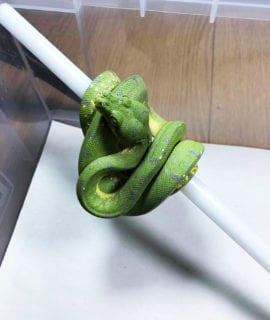 Female Cyclops Green Tree Python CB19