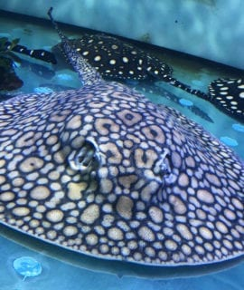 "Female Boesemani Stingray 20"" Breeder"