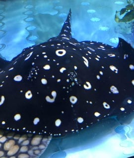 "Female Thousand Island P13 Varient Stingray 14-16"" breeder"