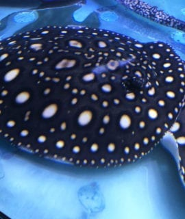 Male Black Diamond Stingray