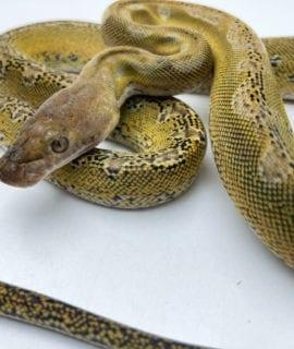 Female Marble Platinum het Anthrax Dwarf Reticulated Python CB20