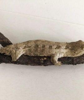 Moro Leachianus Gecko CB19