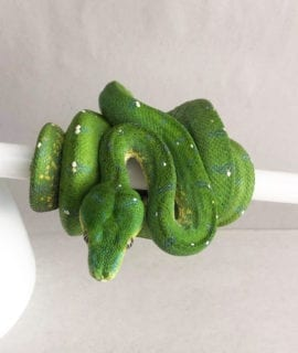 Female Aru Green Tree Python CB19