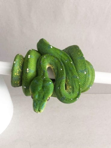 Female Aru Green Tree Python CB19