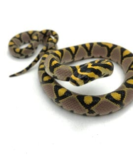 Male Mandarin Rat Snake CB19