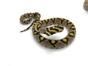 Male Mandarin Rat Snake CB19
