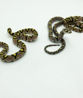 Female Mandarin Rat Snake CB19