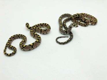 Female Mandarin Rat Snake CB19