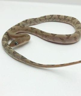 Male Trans-Pecos Rat Snake CB19