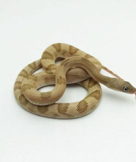 Female Trans-Pecos Rat Snake CB19