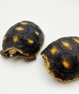 Red Foot Tortoise CB19
