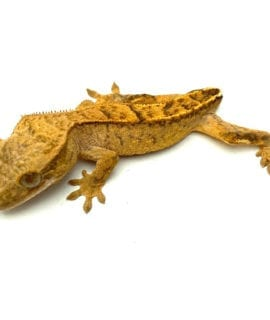 Classic Crested Gecko- Dropped Tail CB20