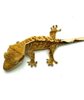 Flame Crested Gecko CB20