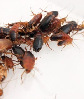 Red Runner Cockroach Colony (150)