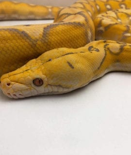 Male Purple Sunfire Mainland Reticulated Python CB19